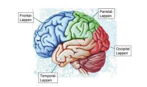 Die-vier-Hauptlappen-Lobi-des-Neokortex-ThinkNeuro